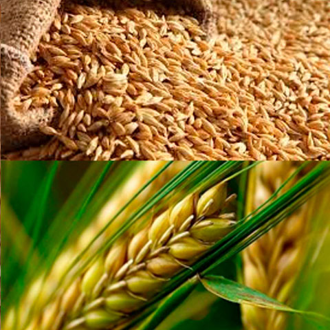 feed-barley